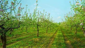 Spring apple garden with flowers and dandelions, 4K panoramic time-lapse video