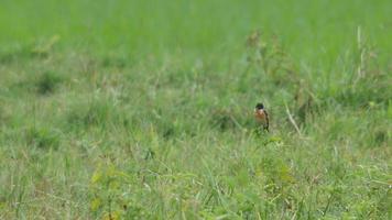 pássaro de bate-papo de pedra descansando no campo video