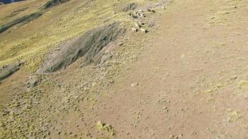 4k vista aérea gira alrededor de llama en montaña video