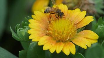 miel de abeja recoger el néctar de la flor