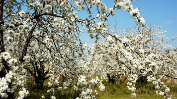 Stedycam shot of beautiful blossoming apple-tree garden video