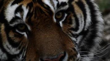 occhi di tigre siberiana video