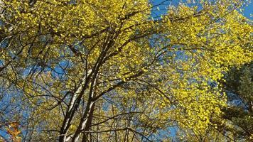 feuilles jaunes tombantes