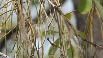 Vagens de sementes de árvore de quadro negro liberam suas sementes video