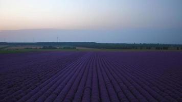 campi di fiori di lavanda in fiore in file infinite. colpo al tramonto. video