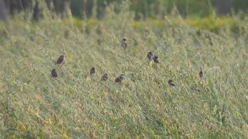 munia-vogels met geschubde borst en zonneschermen van hennepzaad video