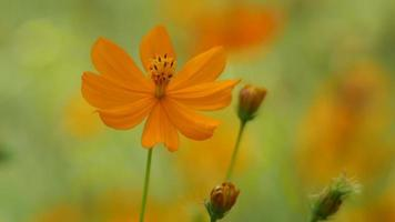 orange cosmos flowers shaking with the wind video