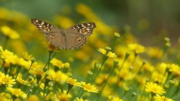 brush-footed butterfly resting on Dahlberg Daisy flower