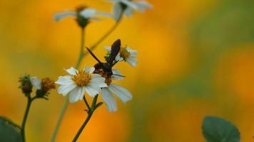 himenóptero coletando néctar da flor video