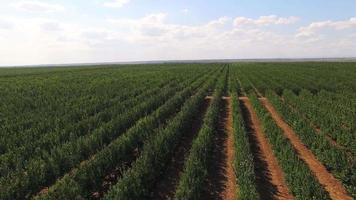 Rows Of Green Standard Apple Trees In Large Garden