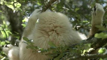 gibão em uma árvore.