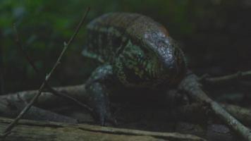 Chiuda in su del drago di Komodo che cammina attraverso la foresta pluviale con un film di risoluzione 4K fotocamera drago rosso video