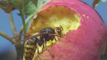 il calabrone mangia la mela rossa