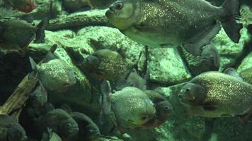 grote vissen zwemmen in tank