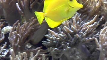 gele vis in aquarium