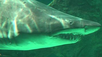 squalo con denti aguzzi che nuotano video