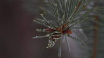 Water droplet Macro on pine as it snows