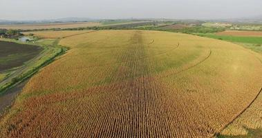 4K aerial view of irrigated corn field prior to harvesting