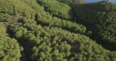 vista aérea acima de uma floresta de pinheiros video