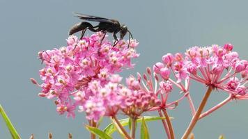 vespa nera raccolta nettare, fiori impollinatori
