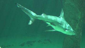 kleiner Hai schwimmt unter Wasser