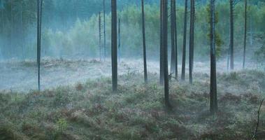 lapso de tempo de neblina fluindo pela floresta de pinheiros video
