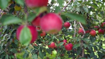 Rack Focus between Red Apples hanging on Tree in Orchard video
