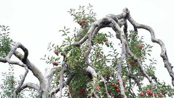 Pan across top branches of giant apple tree in orchard video