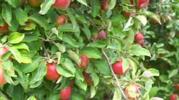 Apple tree filled with Red Jonathan apples ready to be picked video