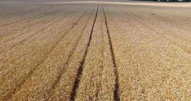volo sul campo di grano maturo video