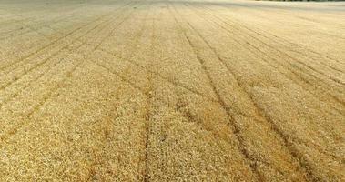 sul campo di grano maturo video