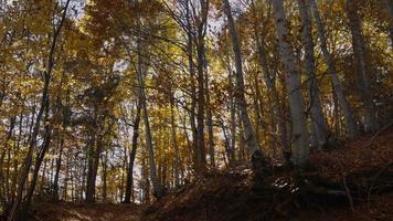 caer en un bosque de otoño caducifolio