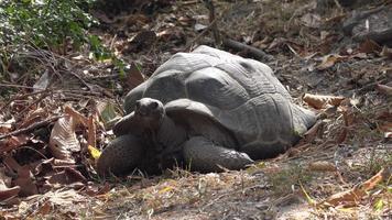 Plano medio de una enorme tortuga moviendo la cabeza.