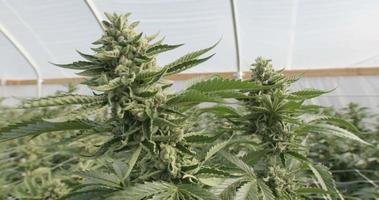 due grandi piante di cannabis indica che crescono indoor