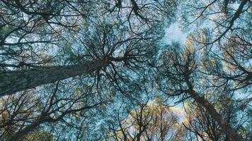 Look Up from Under Cedar Tree Crowns video