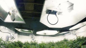 panoramica verso il basso per piante di marijuana indoor obiettivo fisheye