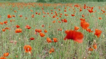 prado de flores de amapola