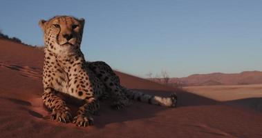 4K Cheetah lying down and licking paws on the red sand dunes of the Namib desert