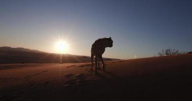 Ghepardo 4 k in sagoma contro il sole al tramonto del deserto del namib