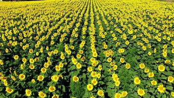 campo de girassóis amarelos felizes prosperando na luz do sol, vista aérea video