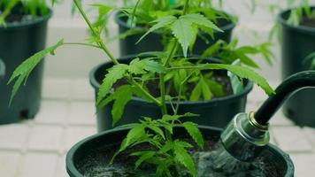 usando un tubo per innaffiare le piante di cannabis in una fattoria commerciale di marijuana