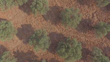 Flying Above Olive Trees