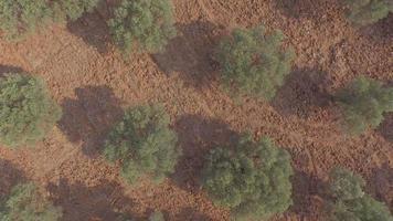 voando sobre oliveiras video