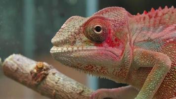 camaleón reptil ojos moviendo
