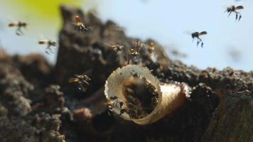 abejas sin aguijón vuelan alrededor de su colmena
