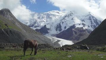 wilde Pferde auf dem schneebedeckten Gebirgshintergrund. Tian Shan, Kirgisistan video