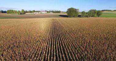 Luftaufnahme und Reisen durch Linien des Maisfeldes geschossen video