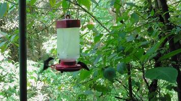 Groen-bekroonde briljante kolibries (heliodoxa jacula) zitstokken op vogelvoeder in een bos, Costa Rica video