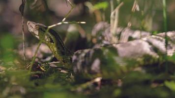 América del sur serpiente venenosa, bosque oscuridad brasil - animal salvaje de américa del sur, cámara de cine roja