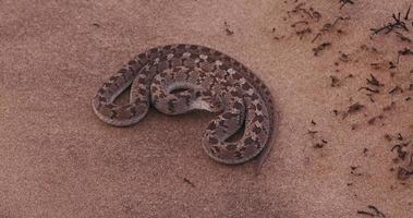 4k Ei fressende Schlange in defensiver Haltung